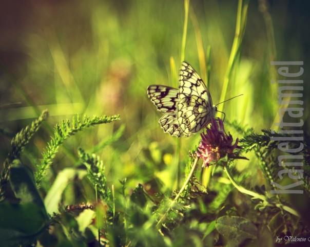 babochka-klver-zelen-leto