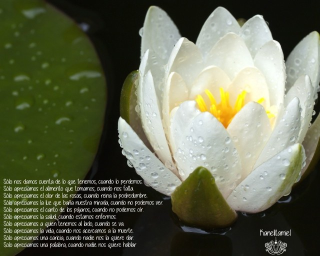 liliya-vodyanaya-cvetok-kapli